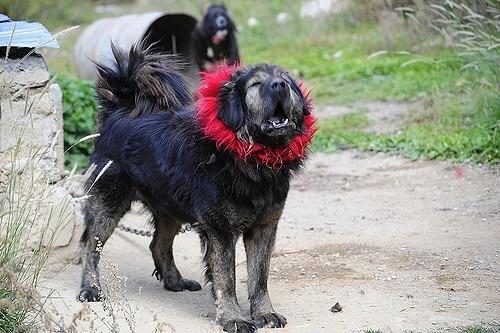 Collares de los perros tibetanos