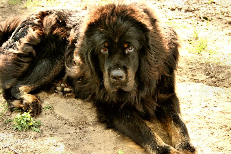 comprar un mastín tibetano
