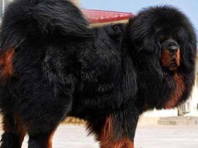 Mastín tibetano enfermedades salud