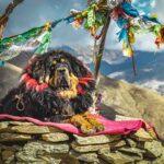 Mastín Tibetano