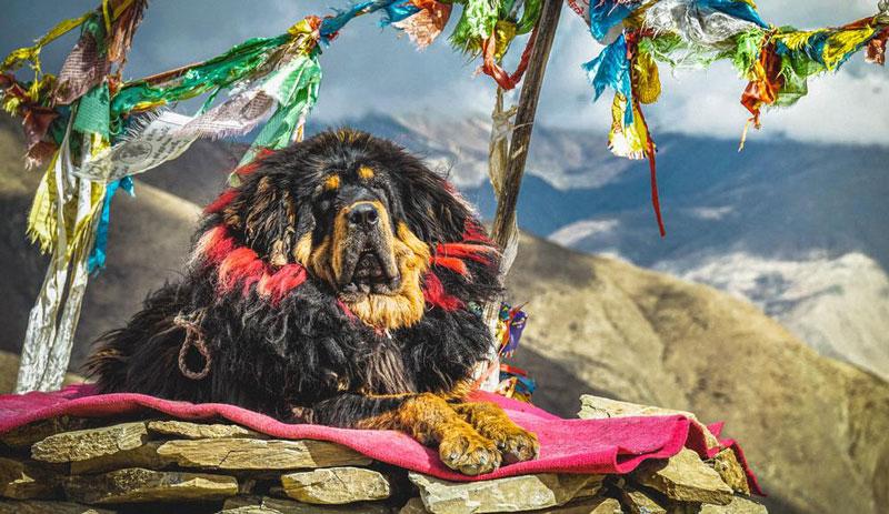 Historia del Mastín TIbetano