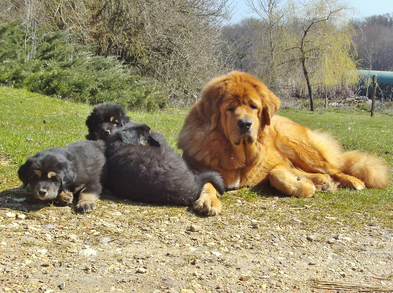 Mastín TIbetano y cachorros